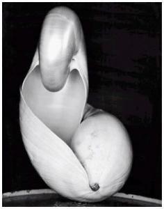 Shell, 1927 (IS) Edward Weston negative, Cole Weston print, 8 x 10 print, $9,000.00