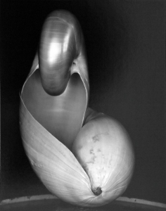 Shell 1927, 14S, gelatin silver print, mounted, signed, titled and annotated '14S' in pencil by Cole Weston on the reverse. Printed by Cole Weston. Image: 9 1/4 by 7 1/4 in. (23.5 by 18.4 cm.) $14,000.00