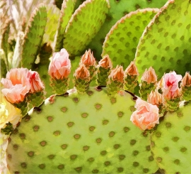 Prickly Pear Blossoms Detail 1